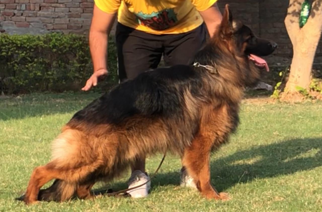 Argos von Csernyik Dog Sport