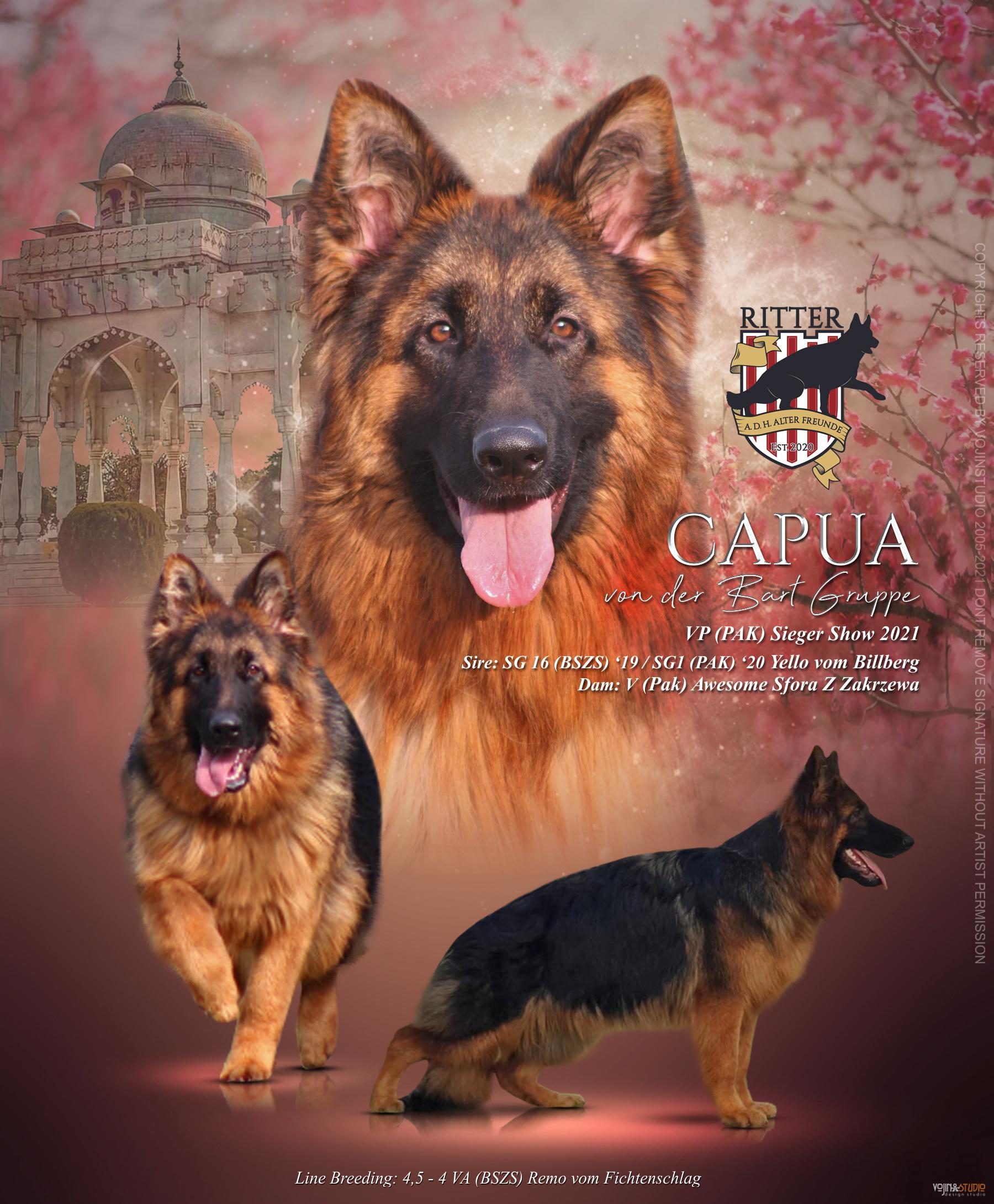 public/dog_images/12771/1618657562.Capua-Poster-8Months.jpg
