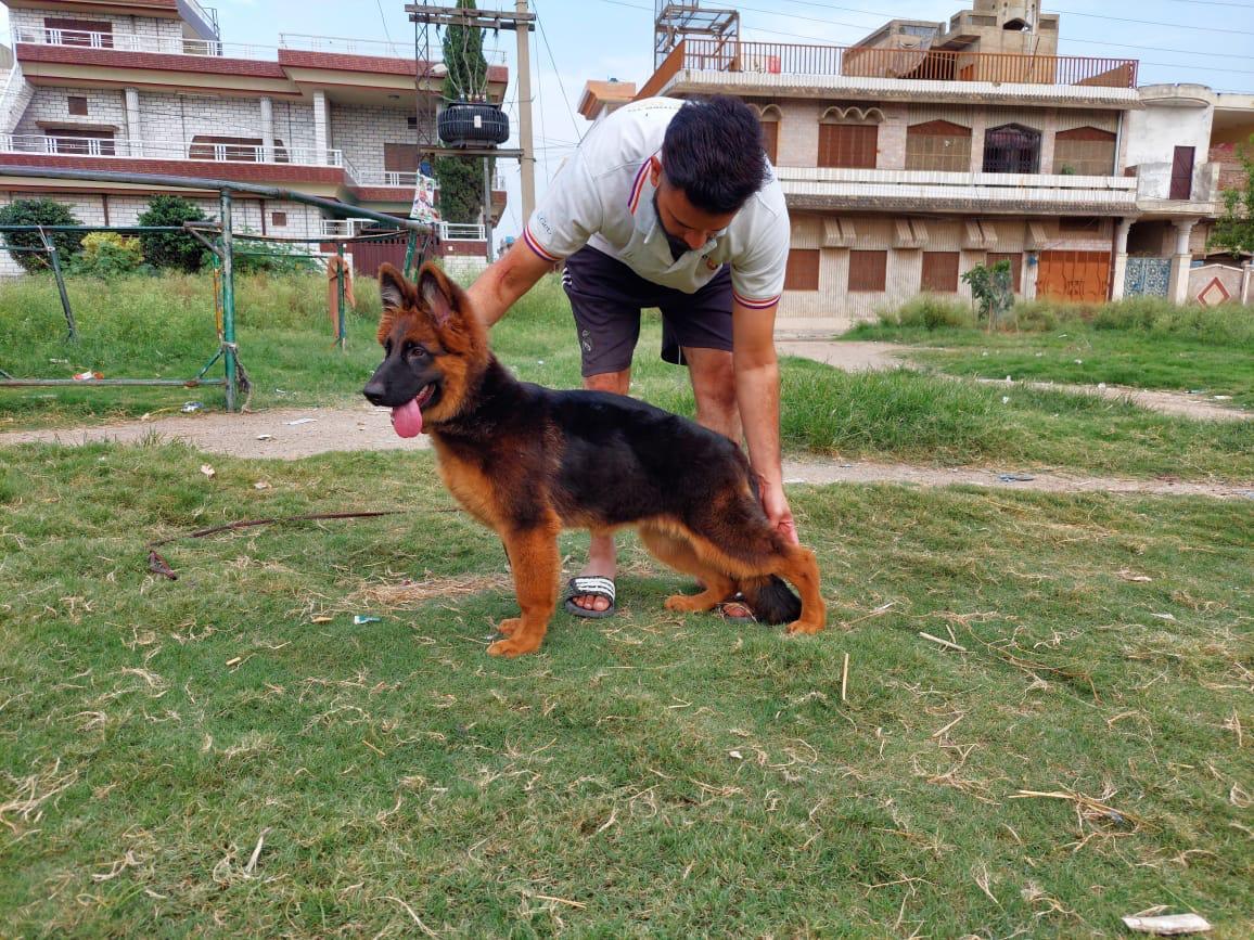 public/dog_images/13228/1630439817.IMG-20210901-WA0001.jpg
